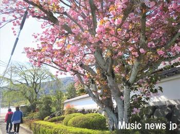 歌を歩く・八重桜.jpg